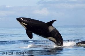 دانلود تحقیق آواز نهنگ ها به همراه متن لاتین (Whale song)